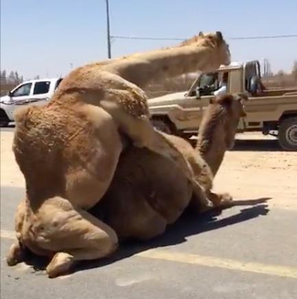 ¡Sorpresa! Dos camellos hicieron el amor en el medio de una ruta