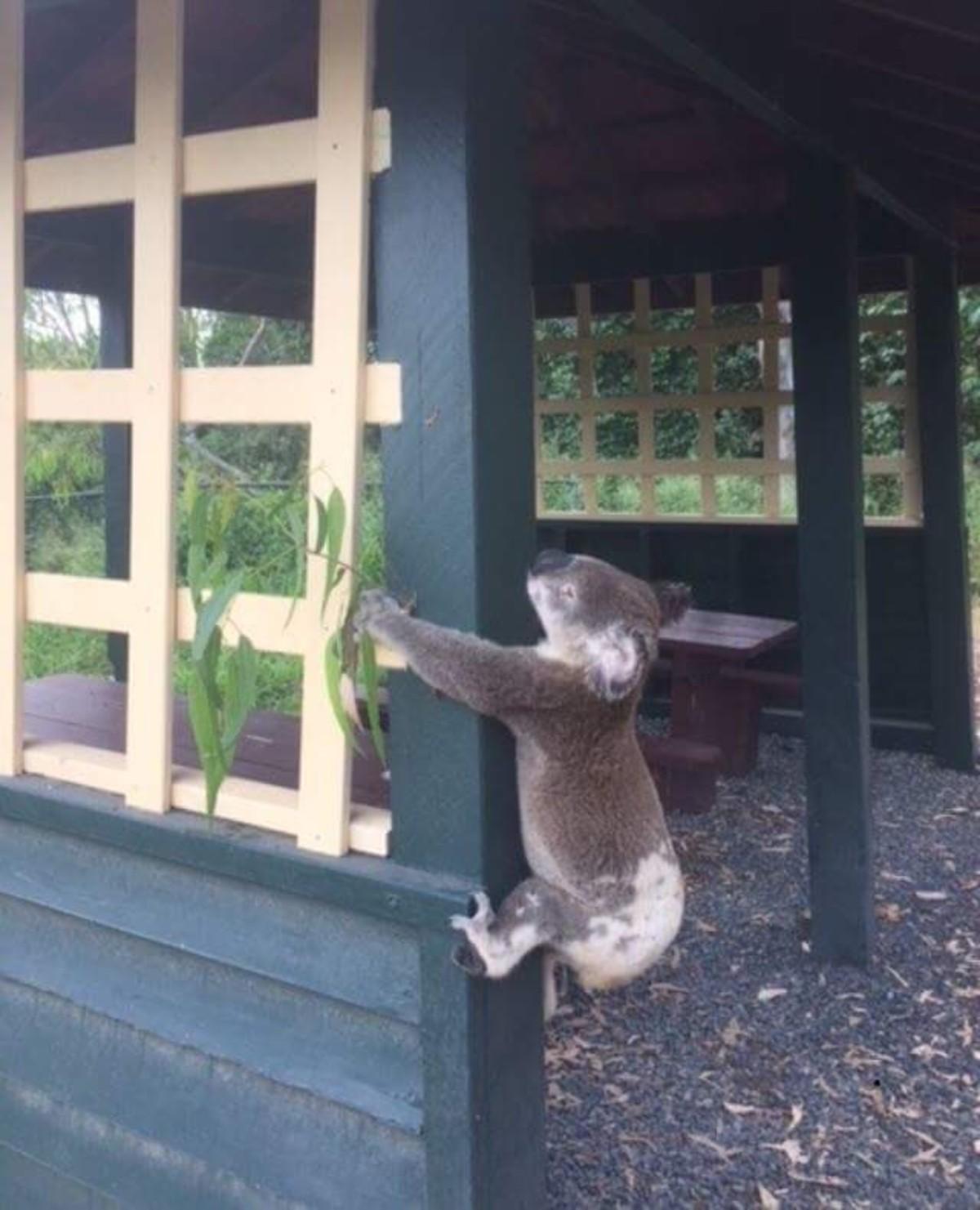 Indignante caso de maltrato animal contra un koala — Australia