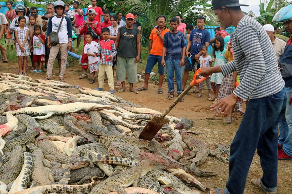 Multitud mata 292 cocodrilos en Indonesia